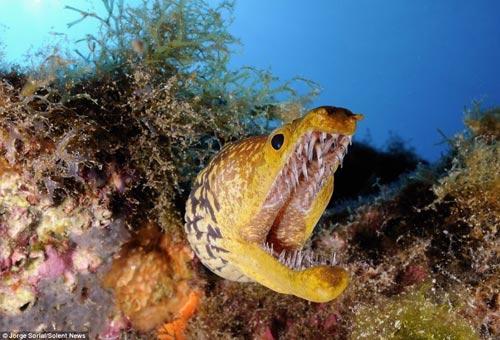 摄影师近距离拍摄鳗鱼令人惊异的锋利牙齿