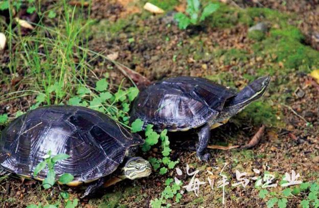 八大珍稀名龟鉴赏
