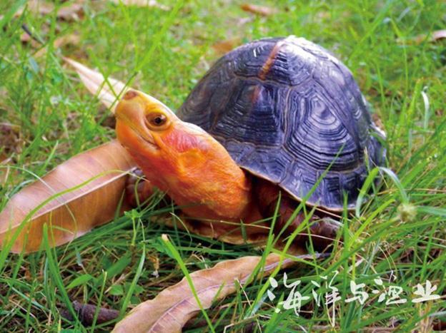 八大珍稀名龟鉴赏; 世界上最稀有的乌龟;