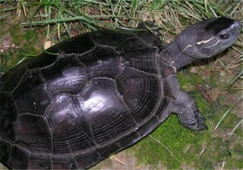 属水栖龟类,为乌龟属的爬行动物