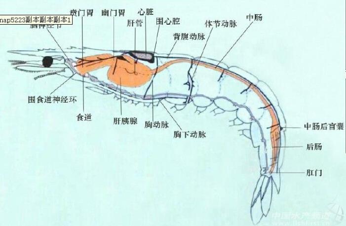 我们就得了解对虾的生理结构
