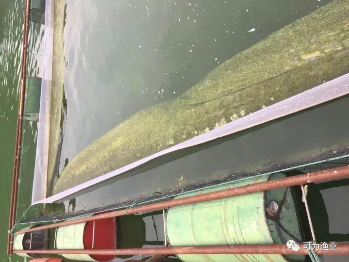 冬天水库网箱养殖鮰鱼施用阿维菌素造成死鱼原因分析